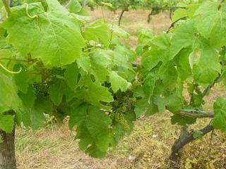 Grapevines at Carr-Taylor vineyard