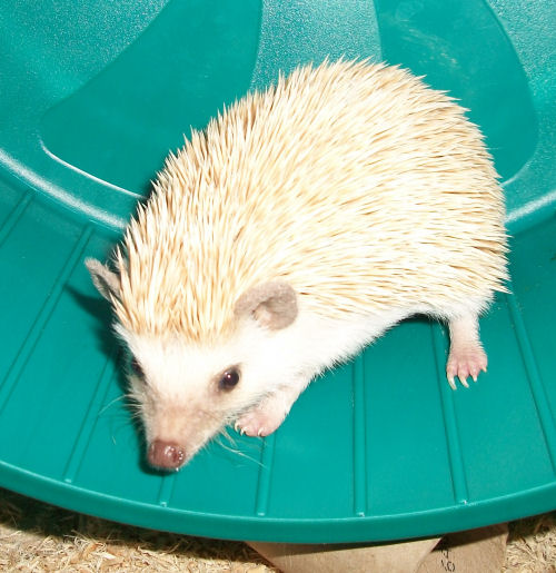 Wenney the hedgie