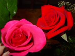 Roses pink and red